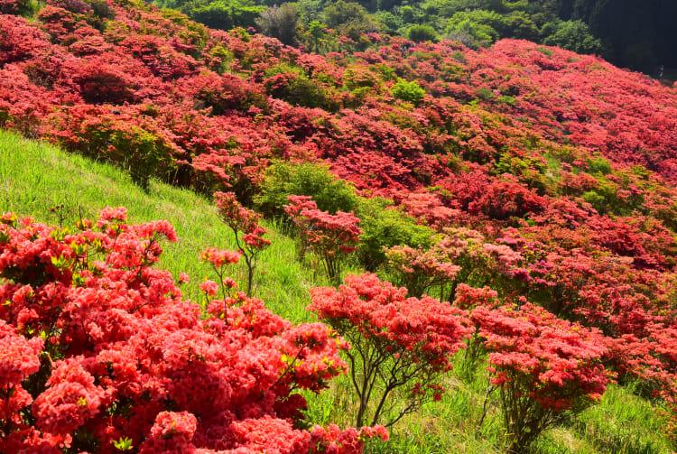 Rhododendron of Mount Katsuragi