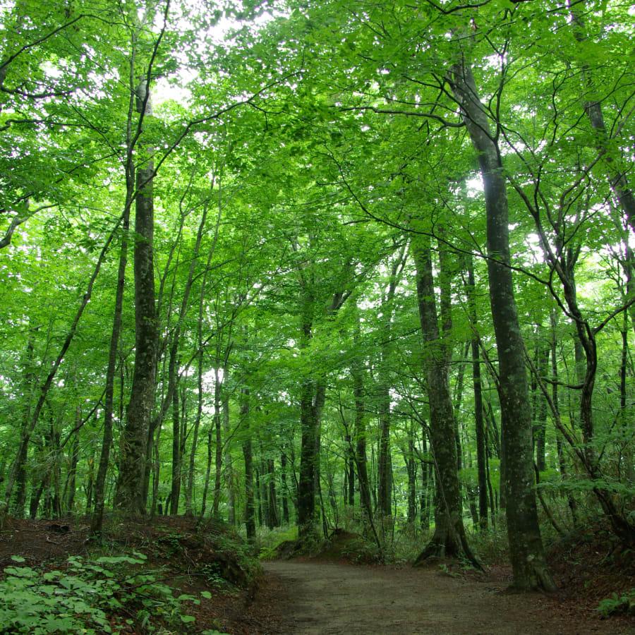 Grün belaubter Wald in den Shirakami-Bergen, perfekt zum Waldbaden