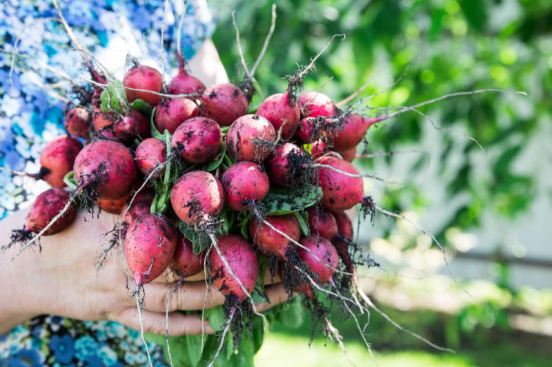 Is it OK to Eat Beets Everyday?