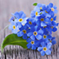 Guide forgetmenots75x75