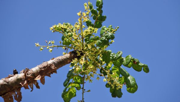 A Caution About Boswellia