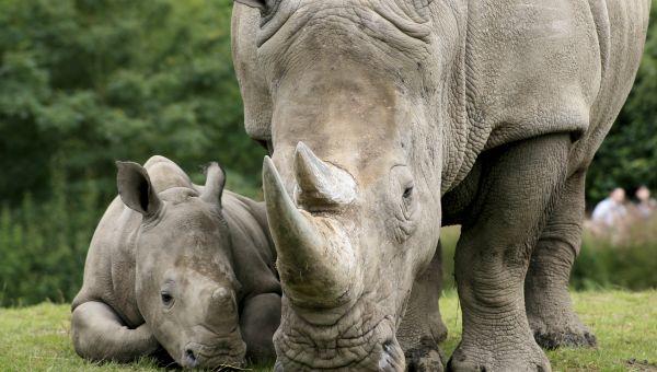 Are You a Captive Black Rhino?