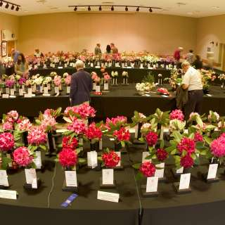 Rhododendron and Azalea Flower Show