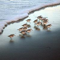 Sandpipers on the Beach, Oregon Coast, Florence, by Robert Petit