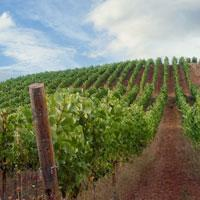 High Pass Winery Vineyard, Junction City, Oregon, by Jamie Hooper