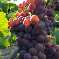 Lavelle pinot grapes