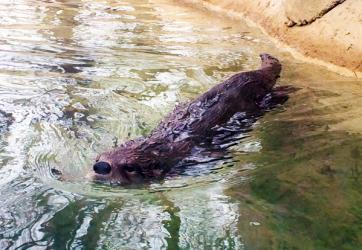 playful otter at the Seneca Park Zoo in Rochester, NY