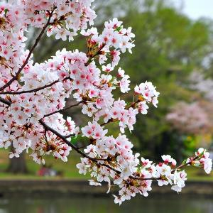 Copy of Cherry Blossoms Photo 3 (5 things)