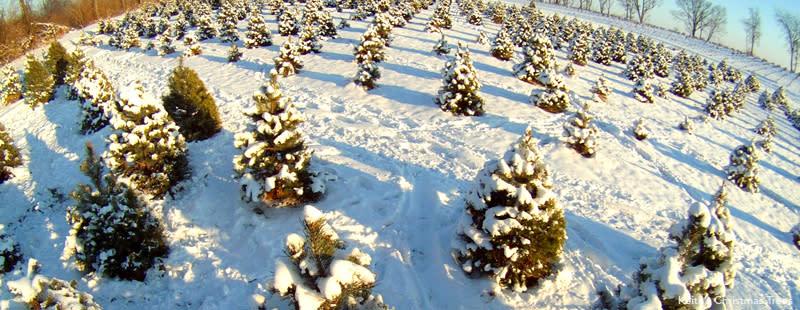 Keith's Christmas Trees