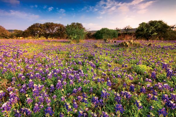 Hill country field with bluebonnets