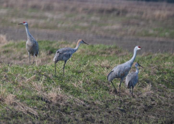 Sandhill Cranes   Birding in Lake Charles