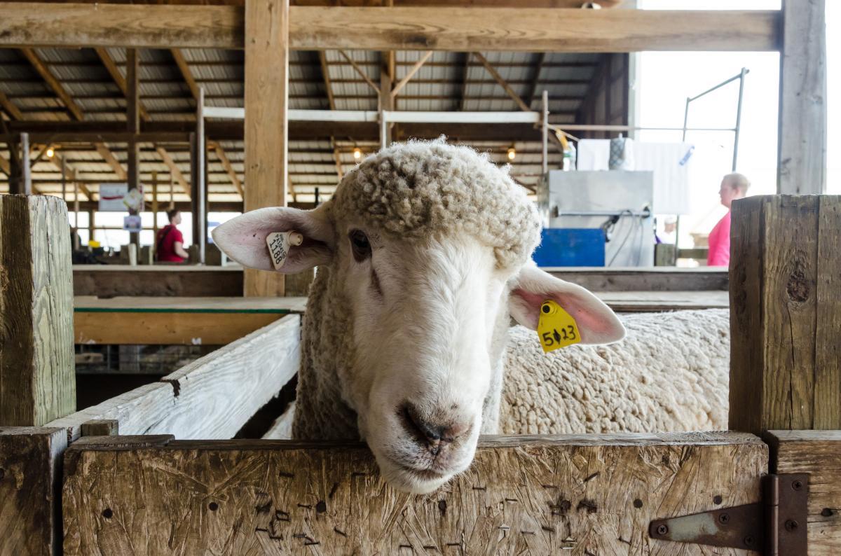 Sheep at Maryland Sheep & Wool Festival