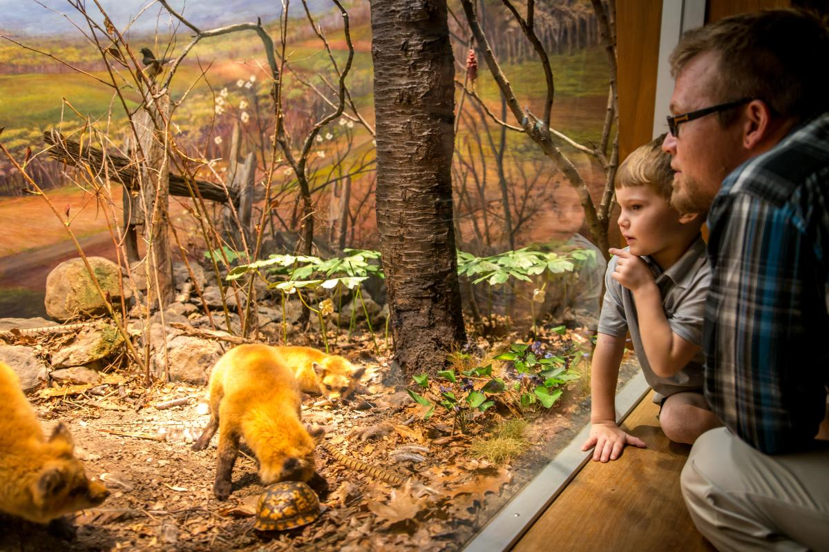 State Museum of PA - Red Fox Display
