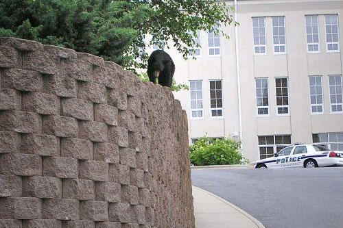 Bear in Downtown