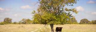 Cow under tree
