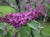 6 Things to Do at the Rochester Lilac Festival