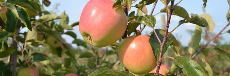 Fruit Ridge Hayrides apples