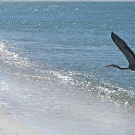 Wildlife Stump Pass Heron Flight
