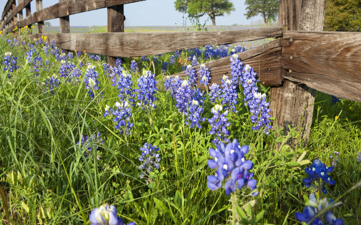 Best Places To See Bluebonnets In Austin This Spring Austin Insider Blog