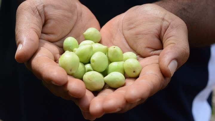 The Kakadu Plum Fruit is full of health benefits! Image: Supplied.