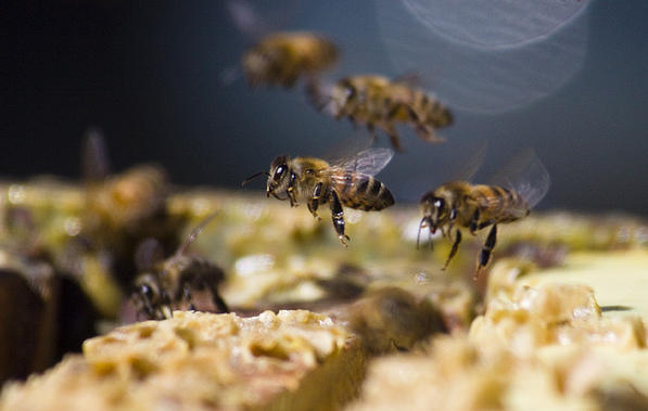 Individual bees work cooperatively to build a hive in the same way that SWARM is hoping to use the crowd to source well reasoned arguments that can boost intelligence analysis and help in decision making more generally. Picture: Sharon Sperry Bloom/Flickr.