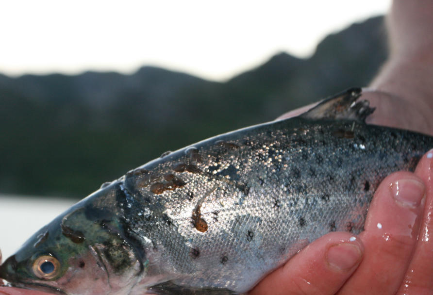 Helping fish fight their own battles   Pursuit by The ... Atlantic Salmon Parasite