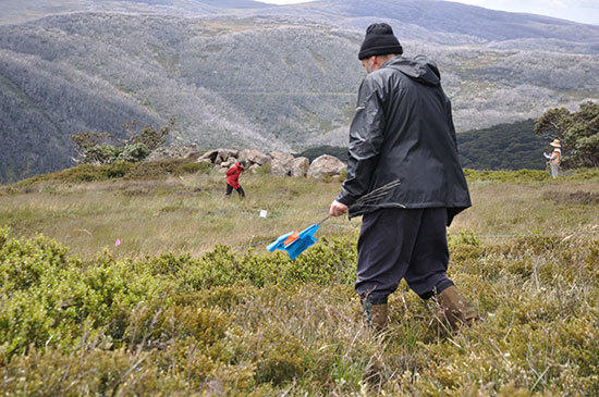 Volunteers on the hunt for Orange hawkweed in the Victorian high country. Picture: Roger Cousens
