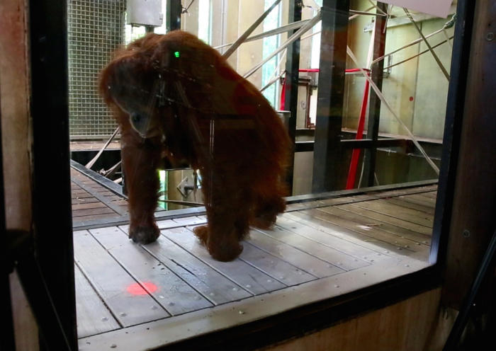 <em>The University of Melbourne team is exploring how orang-utans like Gabby understand different kinds of computer interfaces. Picture: Zoos Victoria</em>