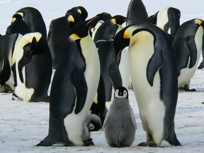 An Emperor penguin family – mum, dad and chicks. Picture: Pixabay