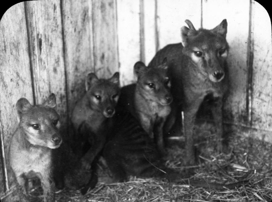 extinct tasmanian tiger now back in 3d pursuit by the university