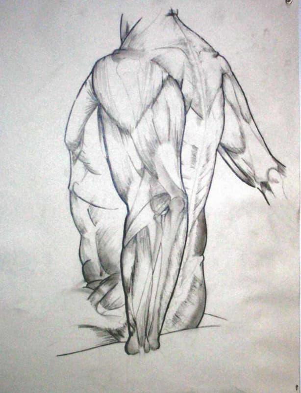 Anatomical Study- torso